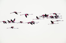 Greater Flamingos (Phoenicopterus Roseus) In Flight, Saintes-Maries-de-la-Mer, Parc Naturel Regional De Camargue, France
