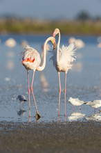 Greater Flamingos And Black-he...