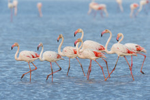 Greater Flamingos (Phoenicopterus Roseus), Saintes-Maries-de-la-Mer, Parc Naturel Regional De Camargue, France