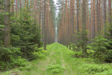 Path Through Pine Forest, Saxony, Germany