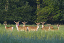 Herd Of Fallow Deers (Cervus Dama) In Summer, Hesse, Germany