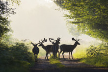 Herd Of Male Fallow Deer On Mi...