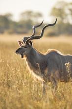 Greater Kudu Standing In Grass, Okavango Delta, Botswana, Africa