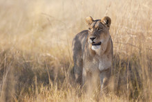 African Lioness (Panthera Leo) Walking Through The Grass At The Okavango Delta In Botswana, Africa