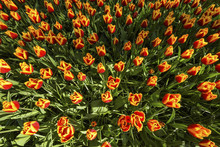 Red And Yellow Variegated Tulips In Spring At The Keukenhof Gardens In Lisse, South Holland In The Netherlands