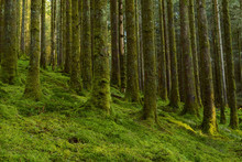 Strong Mossy Tree Trunks And Forest Floor In A Conifer Forest At Loch Awe In Argyll And Bute In Scotland