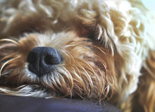 Close Up Of Nose Of A Mixed Breed, Snoozing Puppy