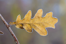 Close-up Of Oak Leaf In Winter, Hesse, Germany