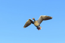 Low Angle View Of Greylag Goose (Anser Anser) Flying, Hesse, Germany