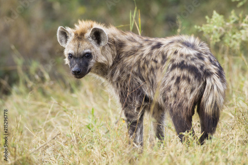 Portrait of young spotted hyena (Crocuta crocuta) in the Okavango Delta in Botswana, Africa