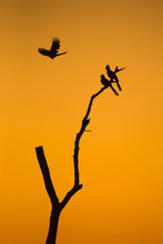 Go-away-birds And Bare Tree Silhouetted Against Sunrise Sky, Africa
