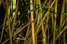 Tall Yellow Bamboo