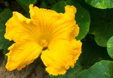 Pumpkin Yellow Flower With Bee