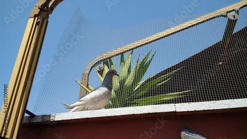 Piccolo piccione chiaro