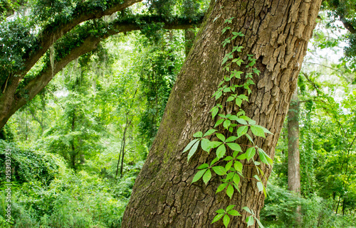 Fotografie, Obraz  Tree with running ivy