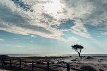 Lone Cypress Tree By An Ocean ...