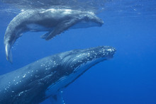 Swimming With Humpback Whale Mon And Calf