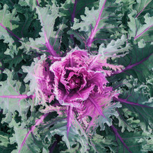 Red (purple) Cabbage