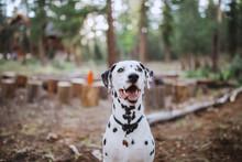 Dalmatian Sitting