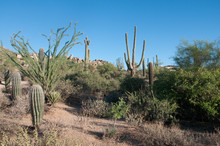 Ocotillo Cactus Grows Next To ...