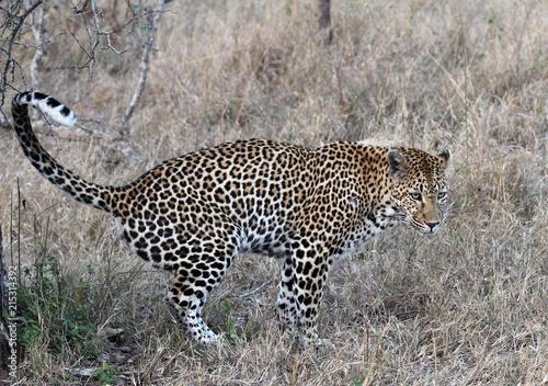 Plakat Leopardy chodzące na otwartej przestrzeni i rozpylające jej zapach, aby oznaczyć jego terytorium