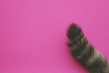 Tail Cat On Pink Background.