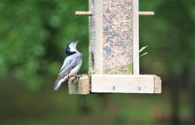 Single Cute Male White-Breasted Nuthatch Bird (Sitta Carolinensis) Perching On The Wooden Feeder With The Nice Green Bokeh Garden Background, Spring In GA USA.