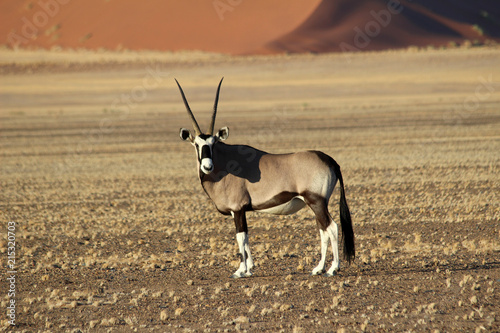 Oryx Antelope - Wildlife of Namibia with large horns and pebble ground with the stunning sossusvlei dunes in the distance. African animals.