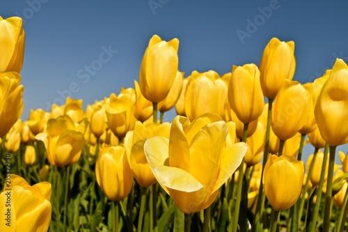 Foto op Canvas Bloemen Tulips