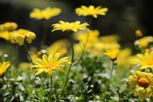 Euryops Chrysanthemoides, Afri...