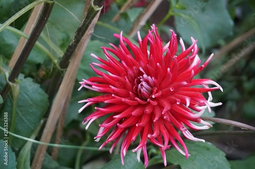 In de dag Dahlia Dahlia Mingus Gregory closeup flowers nature macro background