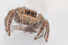 Close Up Of A Cute Little Jumping Spider On A White Background