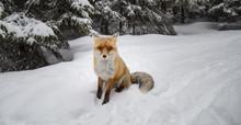 Wild Red Fox In Alpine Environment, In Winter