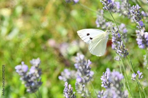 Photo La bianca farfalla sul fiore di lavanda