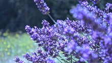 The Sun Is Out And The Bees Are Busy Pollinating The Lavender.