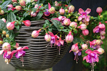 Beautiful Fuchsia Flowering Pl...