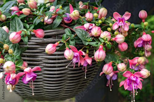 Canvas Print Beautiful fuchsia flowering plants in old wicker pot