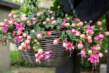 Beautiful Fuchsia Flowering Plants In Old Wicker Pot