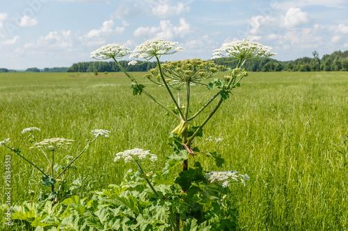 Fotografie, Obraz  cow parsnip blooms on a meadow in summer.