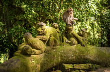 Macaque Monkeys At Ubud Sacred Monkey Forest Sanctuary A Nature Reserve And Hindu Temple Complex In Ubud Bali Indonesia.