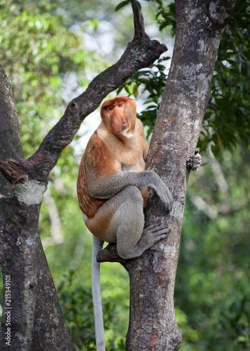 Endangered long nose monkey climbing tree in Borneo rainforest, Sabah, Malaysia
