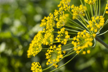 Dill Umbrella Flower Close Up, Natural Sunlight. Yellow Flowers Of Dill Close Up