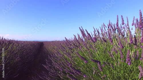 LAVENDER IN SOUTH OF FRANCE Canvas-taulu