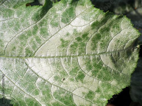 In de dag Macrofotografie Pumpkin mildew 2