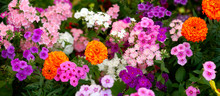 Panorama Of Colorful Summer Flowers. Flower Bed Of Phlox And Marigold Flowers. Panorama Of Bright Summer Flowers In Urban Conditions.