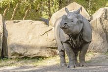 Huge Rhinoceros Walk