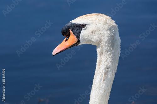 Foto op Plexiglas Zwaan Beautiful swan paddling in the river at Newport wetlands in south Wales, UK