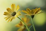 Fototapeta Kwiaty - Żółte kwiaty
