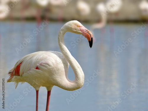 Foto op Aluminium Flamingo Closeup of flamingo (Phoenicopterus ruber) in water seen from profile, in the Camargue in France