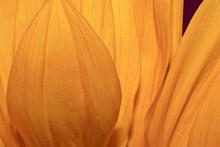 Sunflower Petal Closeup